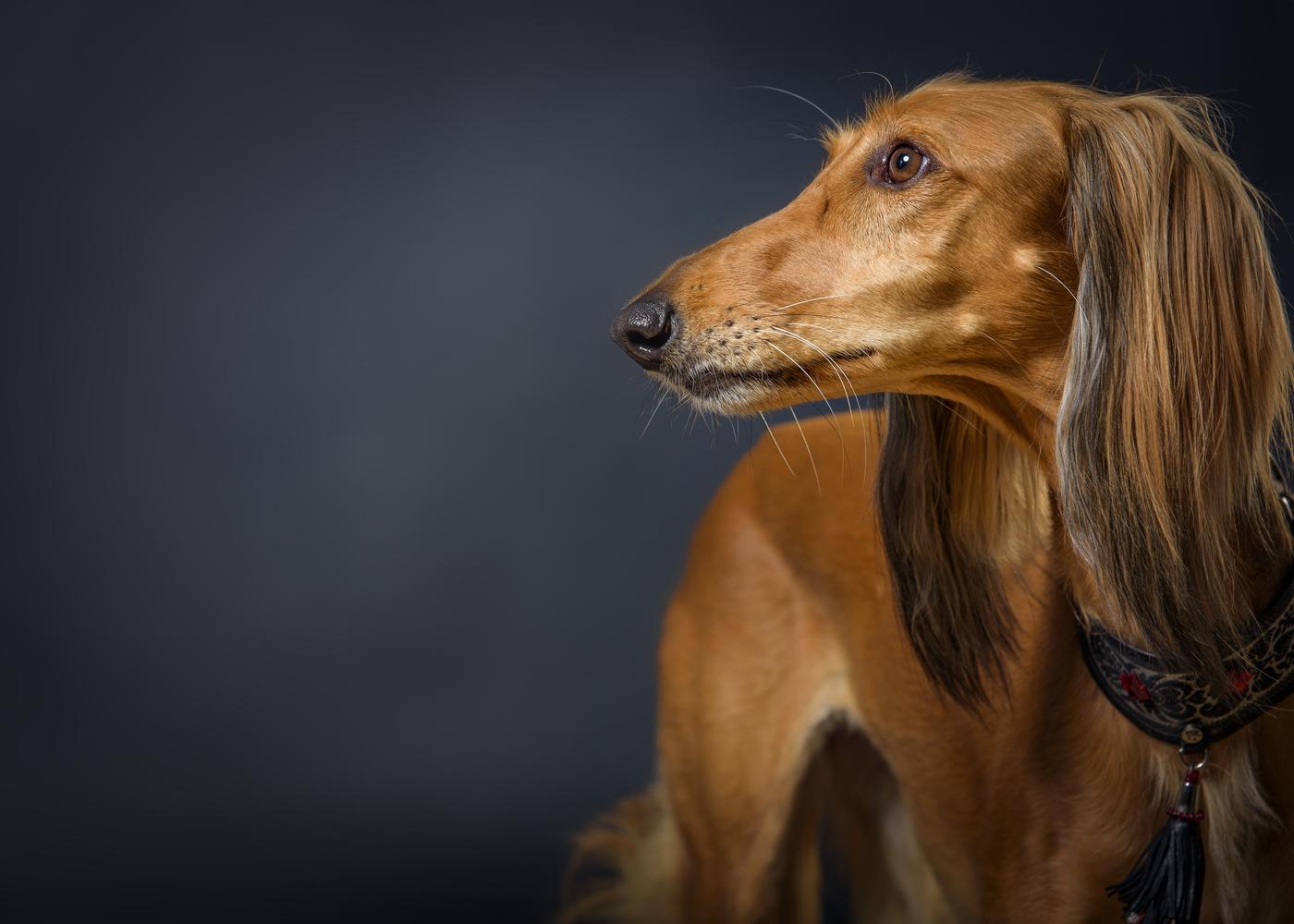 saluki-dog-breed-history