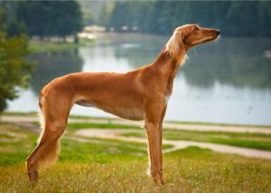 saluki-dog-breed-size