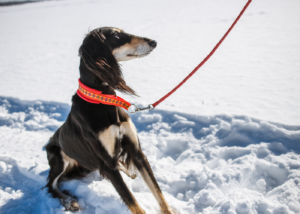 saluki-dog-breed-training