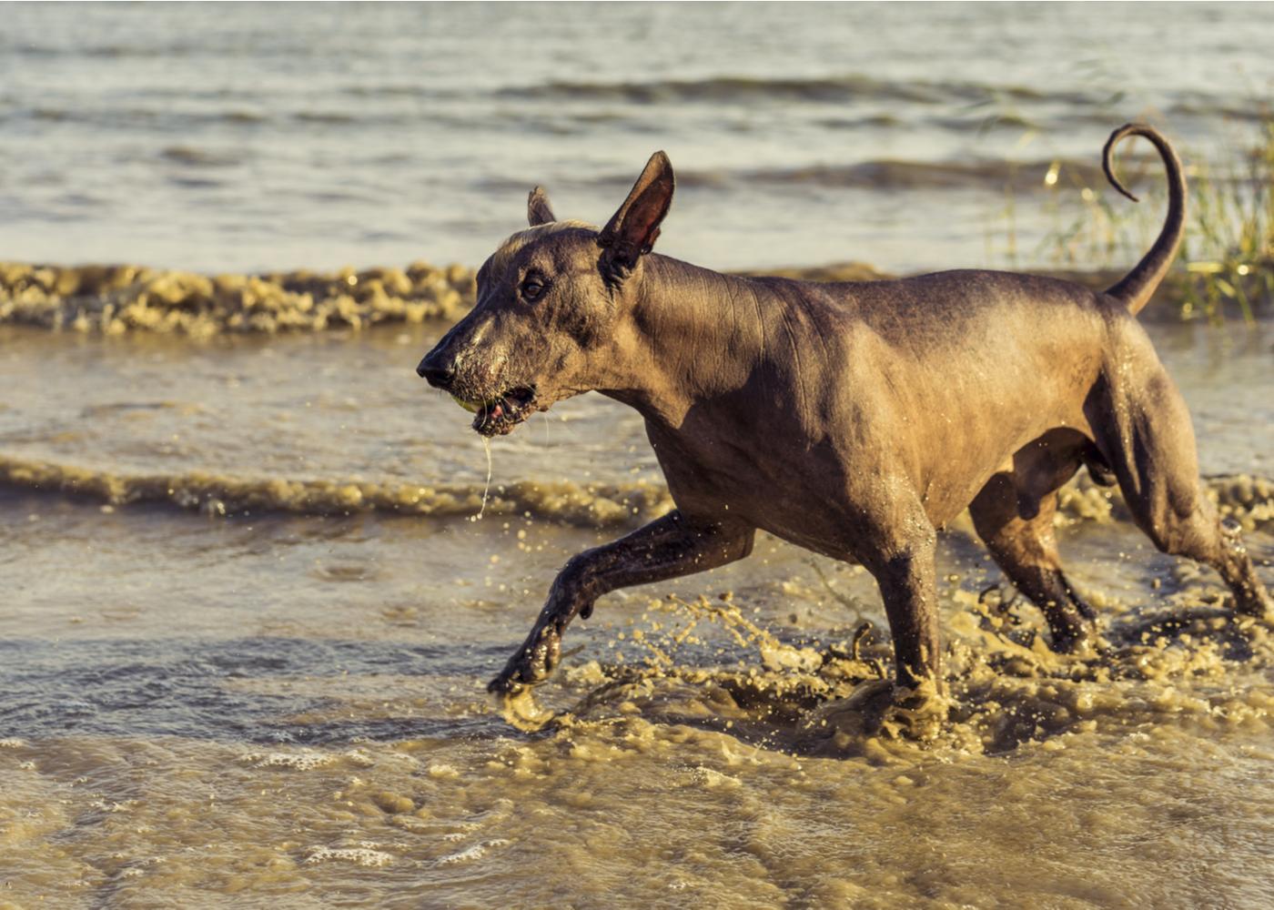 xoloitzcuintli-dog-breed-exercise