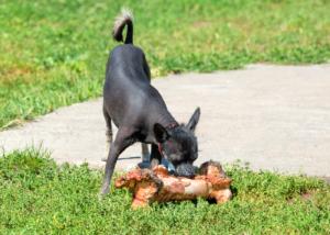 xoloitzcuintli-dog-breed-feeding