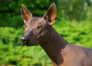 xoloitzcuintli-dog-breed-gallery