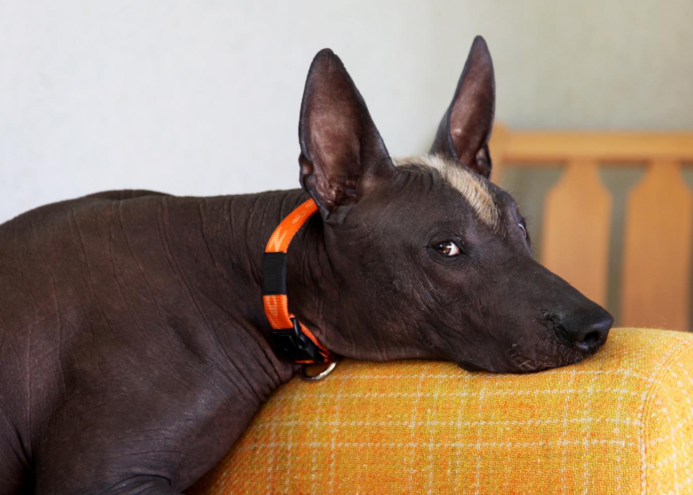 xoloitzcuintli-dog-breed-grooming