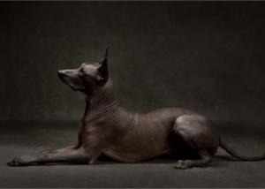 xoloitzcuintli-dog-breed-history