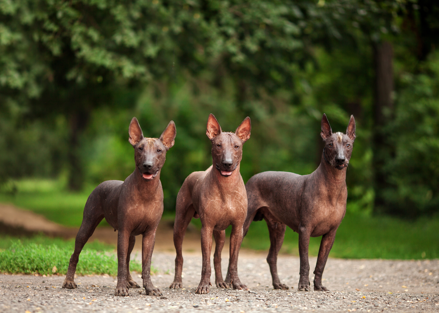 xoloitzcuintli-dog-breed-size
