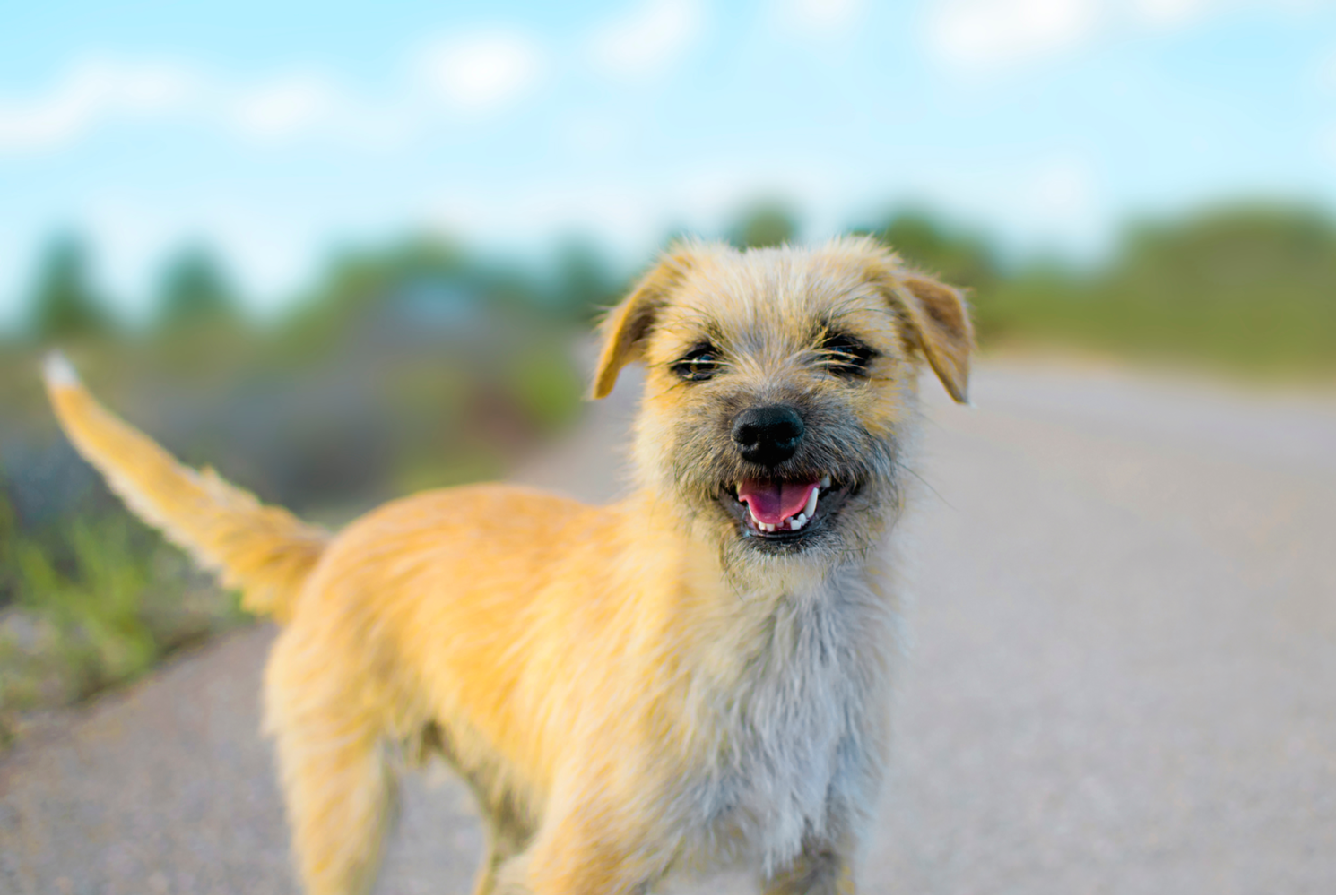 border-terrier-dog-breed-guide-grooming
