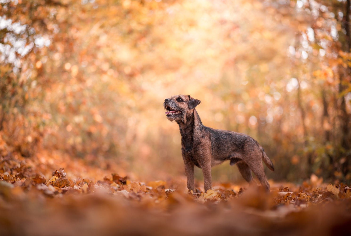 border-terrier-dog-breed-guide-history