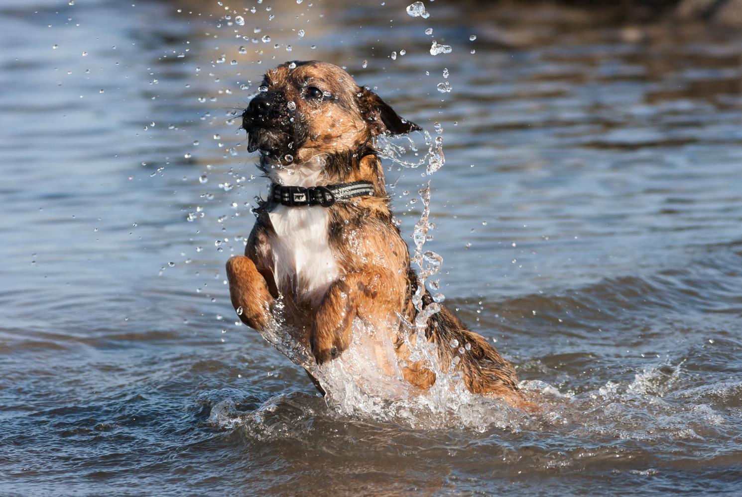 border-terrier-dog-breed-guide-training