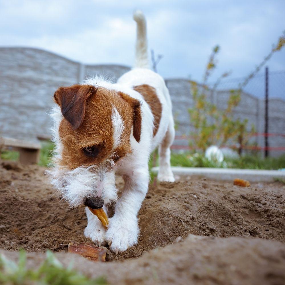 dog-hiding-treats-in-garden