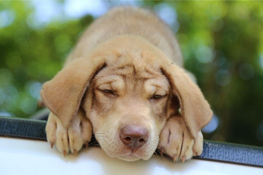 dog-upset-stomach-reasons