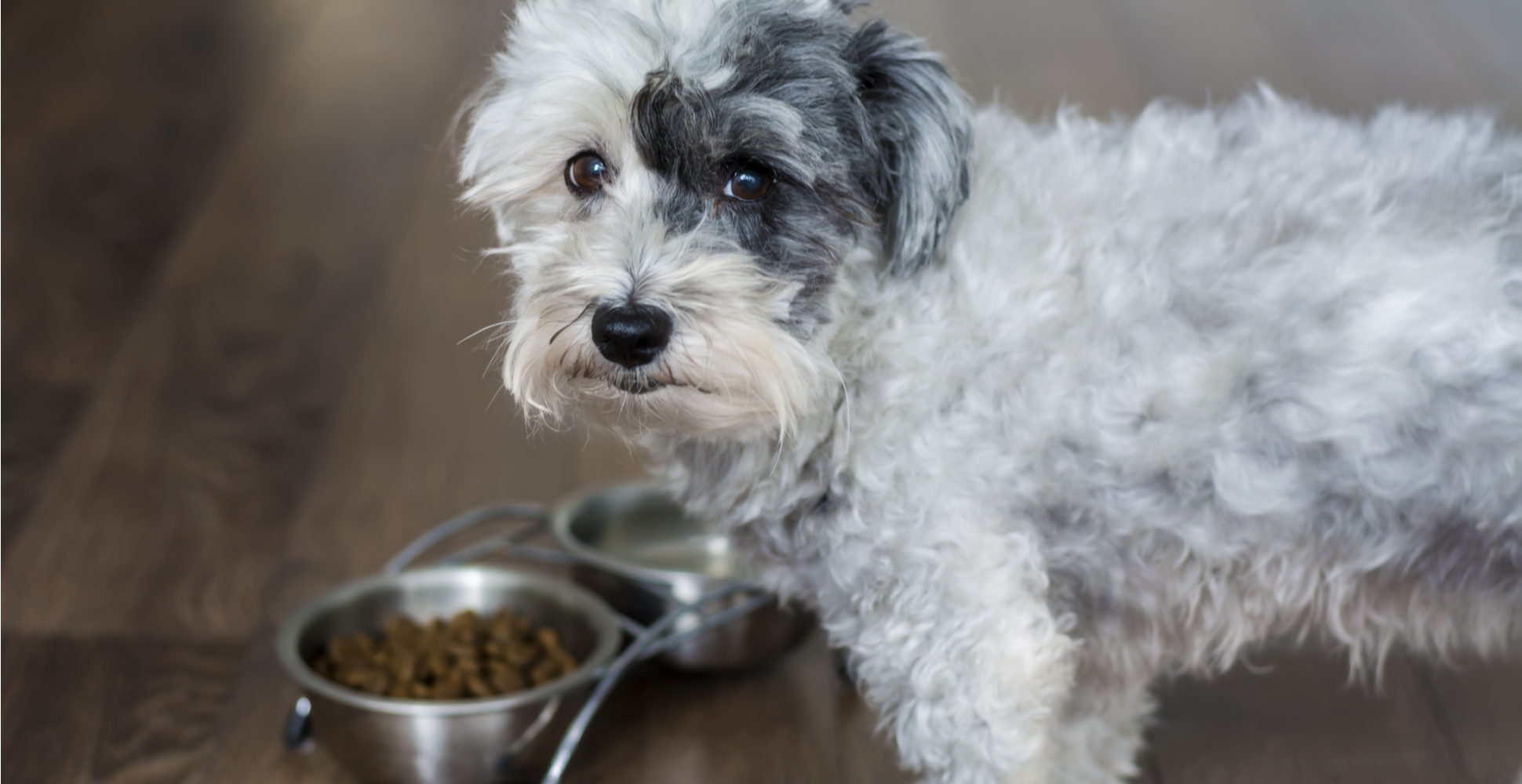 havanese-dog-breed-guide-feeding