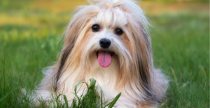 havanese-dog-breed-guide-header