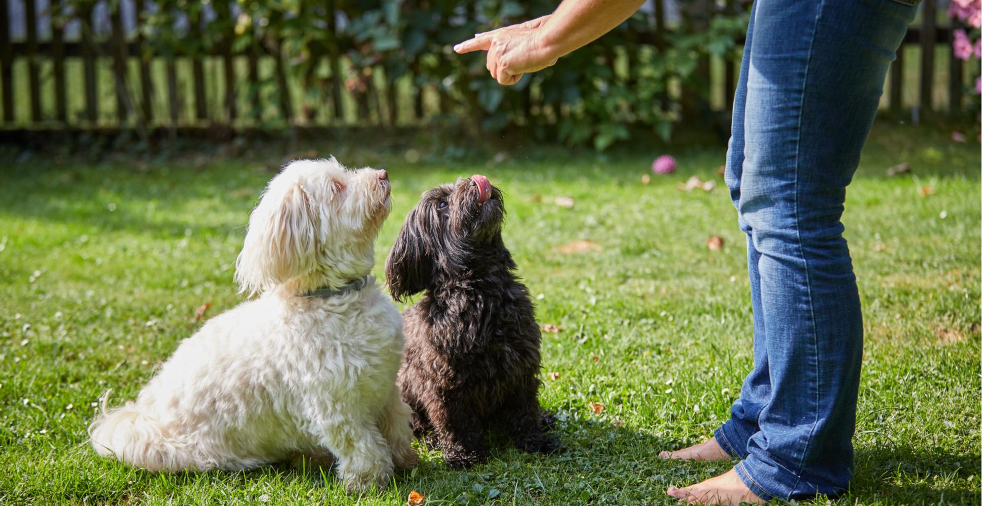 havanese-dog-breed-guide-training