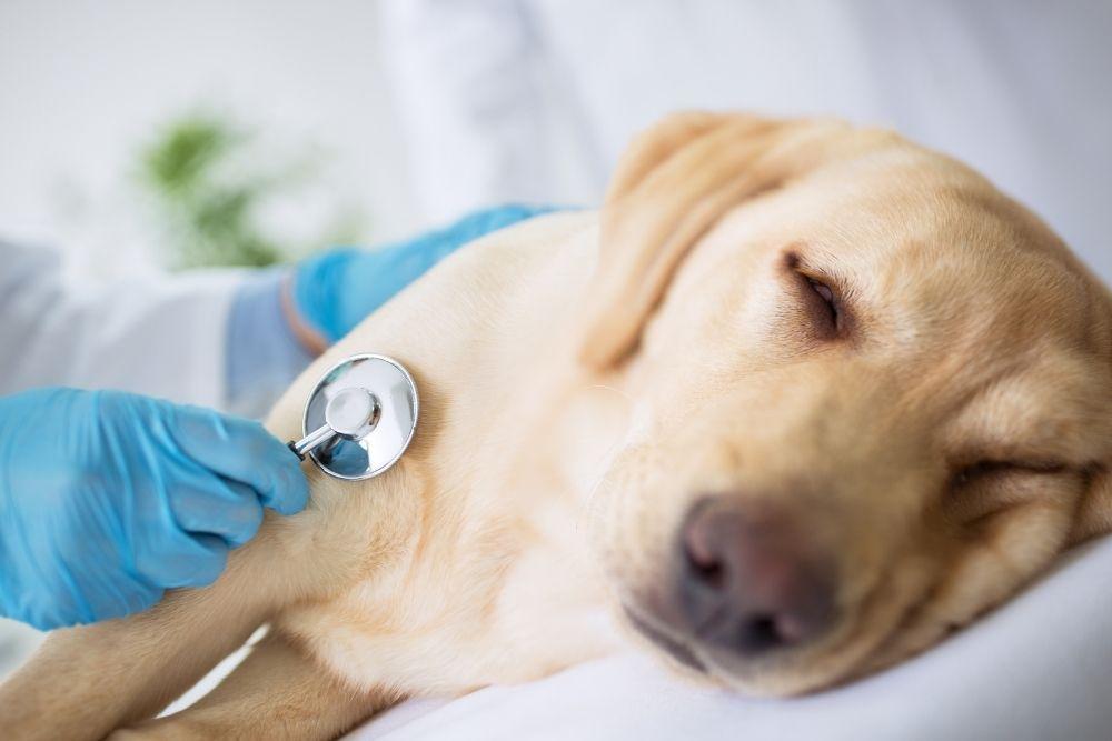 vet-examining-sick-dog