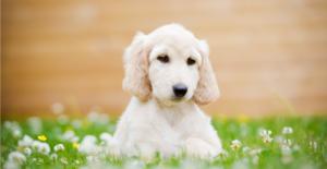 afghan-hound-puppy