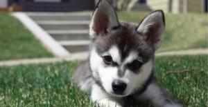 alaskan-klee-kai-puppy
