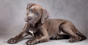american-pit-bull-terrier-puppy