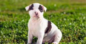 american-staffordshire-terrier-puppy