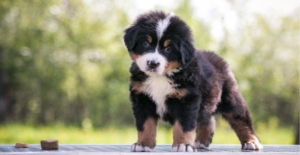 bernese-mountain-dog-puppy