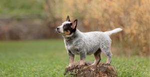 blue-heeler-puppy