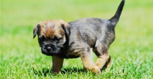 border-terrier-puppy