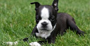 boston-terrier-puppy