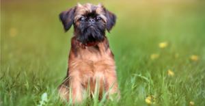 brussels-griffon-puppy
