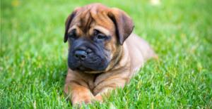 bullmastiff-puppy