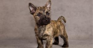 cairn-terrier-puppy