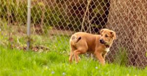chinook-puppy