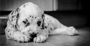 dalmation-puppy