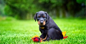 doberman-puppy