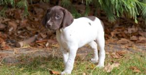 german-shorthaired -pointer-puppy