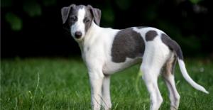 greyhound-puppy