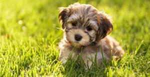 havanese-puppy