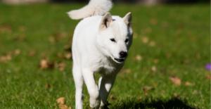 hokkaido-puppy