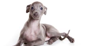 italian-greyhound-puppy