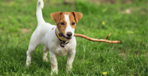 jack-russell-terrier-puppy