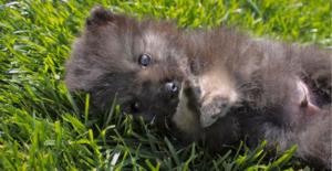 keeshond-puppy