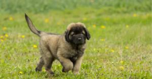 leonberger-puppy