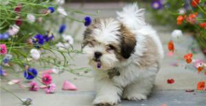lhasa-apso-puppy