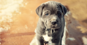 neapolitan-mastiff-puppy