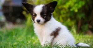 papillon-puppy