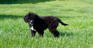 portuguese-water-dog-puppy