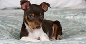 rat-terrier-puppy