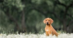 rhodesian-ridgeback-puppy