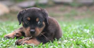 rottweiler-puppy
