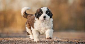 saint-bernard-puppy