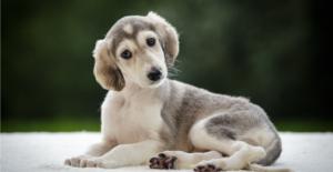 saluki-puppy