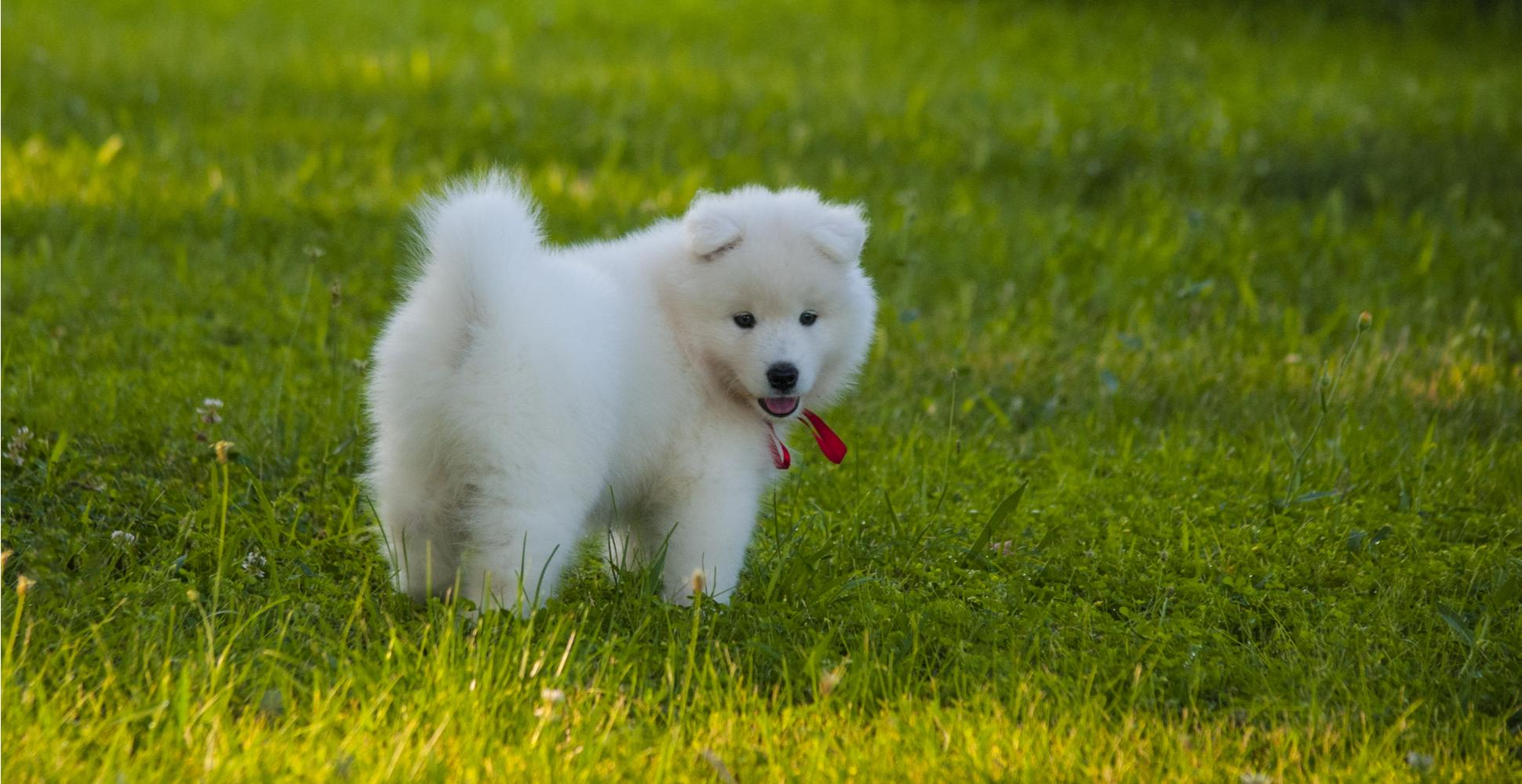 samoyed-puppy